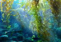 tảo nâu nano fucoidan