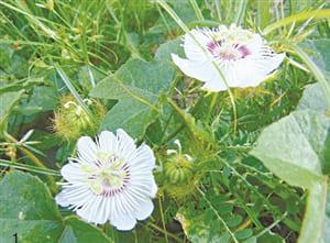 Y dược cổ truyền - Chữa bệnh bằng hoa